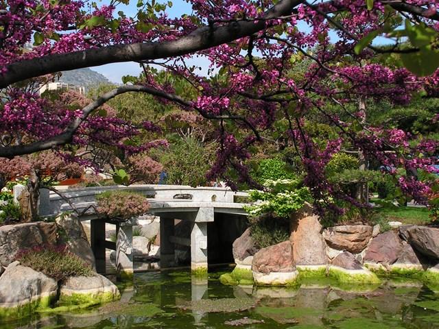 פריחת הדובדבן בגן היפני במונקו